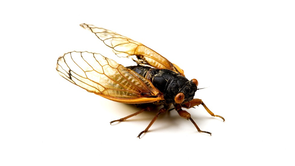 A Brood X cicada with red eyes and yellow wings