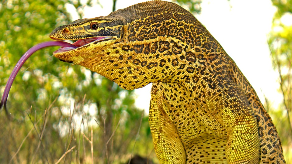 A yellow-spotted goanna with its tongue sticking out
