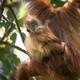 An orangutan