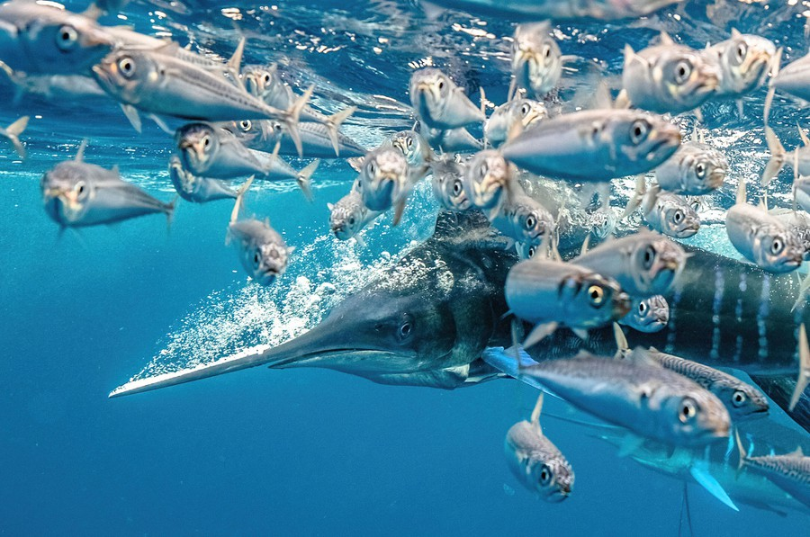 Many small fish flee from a fast-moving marlin near the water's surface.