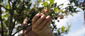 A child's hand reaches to pluck blueberries from a branch.