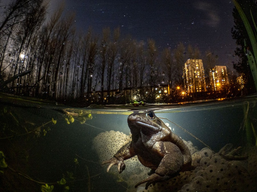 A well-lit frog is seen underwater, with trees, lit-up buildings, and the nights sky above.