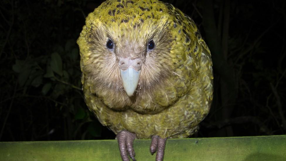 A kakapo looks straight into the camera.