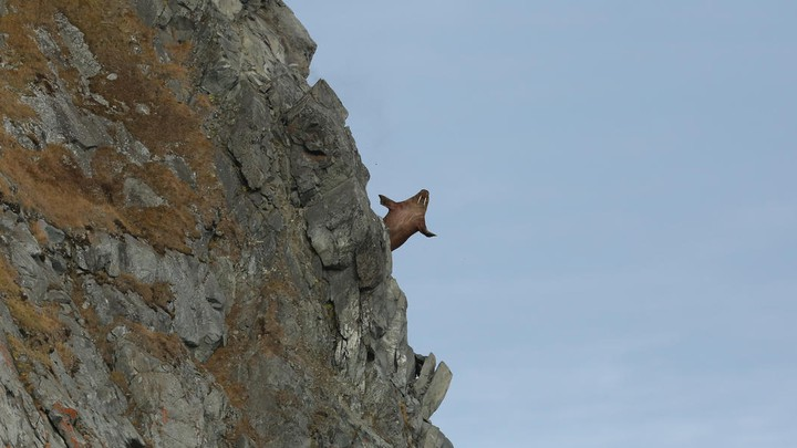 A walrus falls from a cliff overlooking a Russian beach.