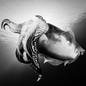 A cuttlefish in the Adriatic Sea