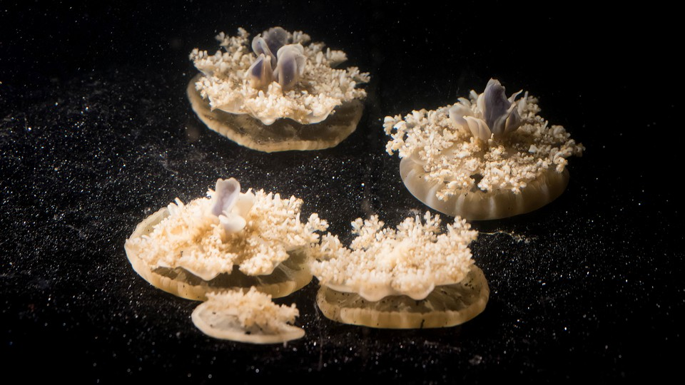 Upside-down jellyfish, having a nap