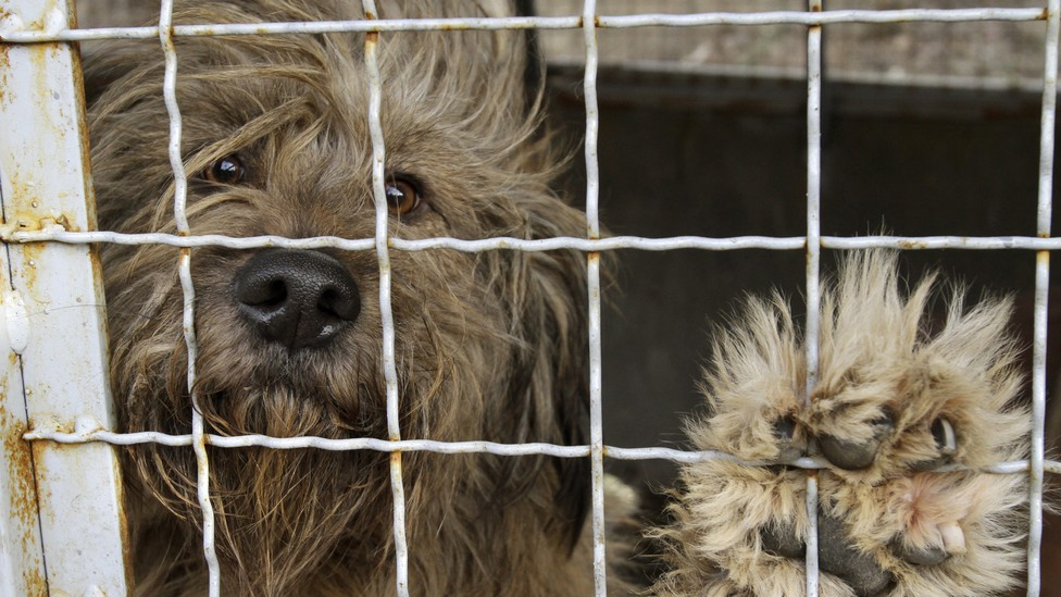 A dog stares out from its cage.