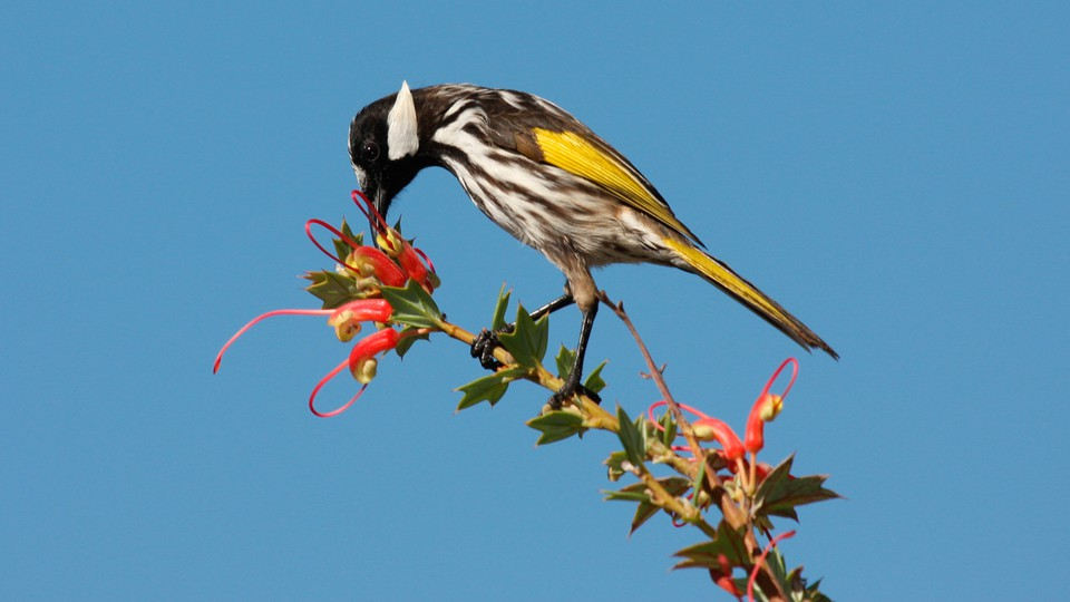 A white-cheeked honeyeater feeding on pink Grevillea flowers