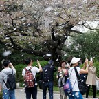 People film a shower of cherry blossoms at a park in Tokyo, April 2, 2018.
