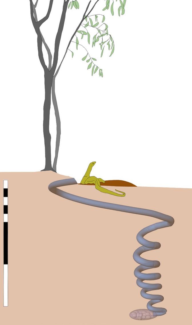 A goanna burrow
