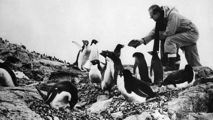 A man feeds a group of penguins.