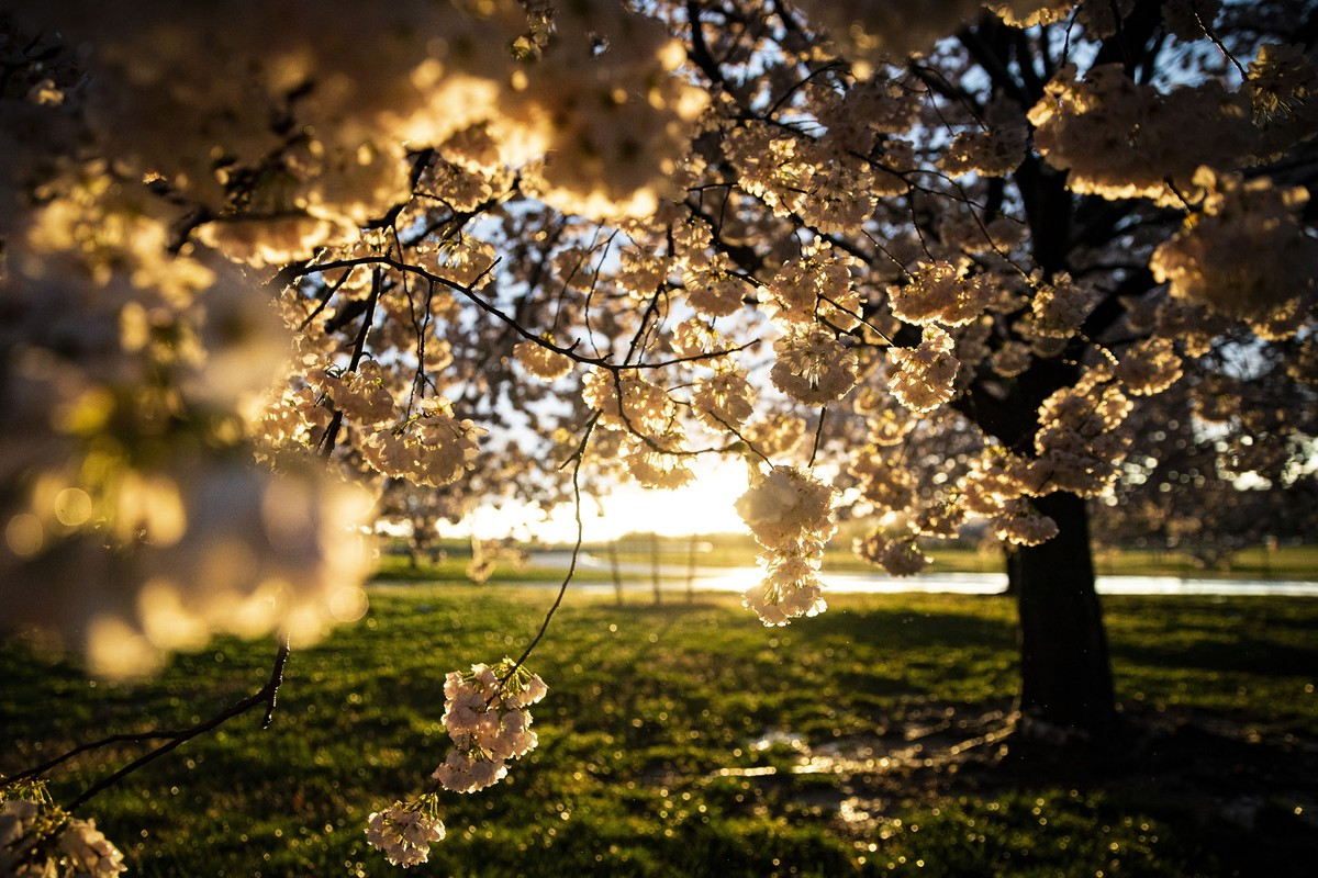 Japanese cherry trees bloom along the National Mall.