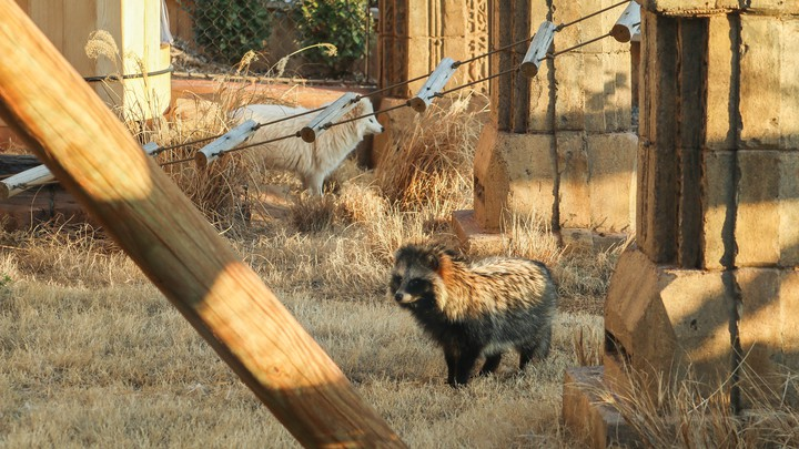 Two raccoon dogs, one of which is white, in an enclosure with toys
