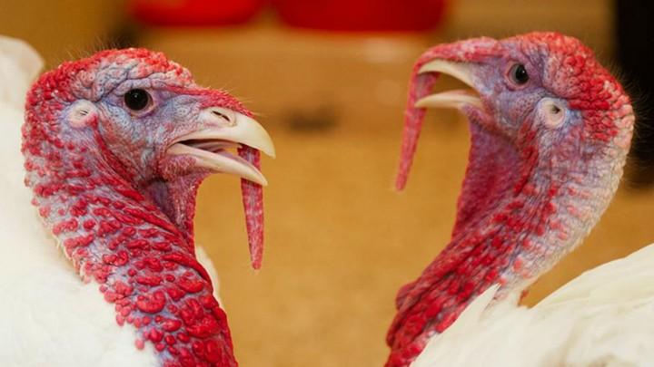 A pair of turkeys