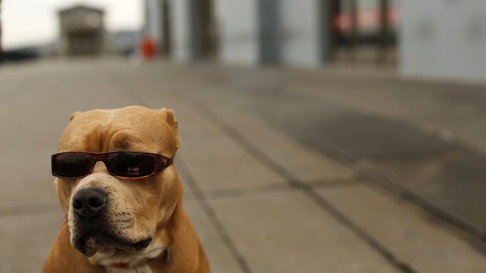 A seated pit bull wearing a pair of sunglasses