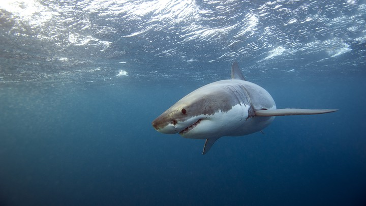 A great white shark swimming underwater