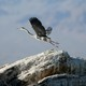 A Great blue heron takes flight on rocks above the Salton Sea near Niland, California.