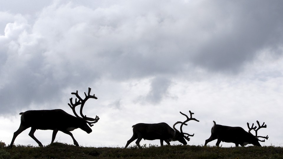 Reindeer gather at a camping ground, some 200 km (124 miles) northeast of Naryan-Mar, the administrative centre of Nenets Autonomous Area, far northern Russia, August 2, 2015..