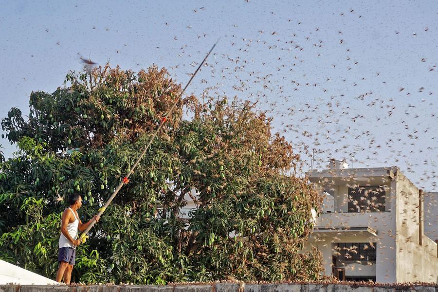 Photos: The Locust Swarms of 2020 - The Atlantic