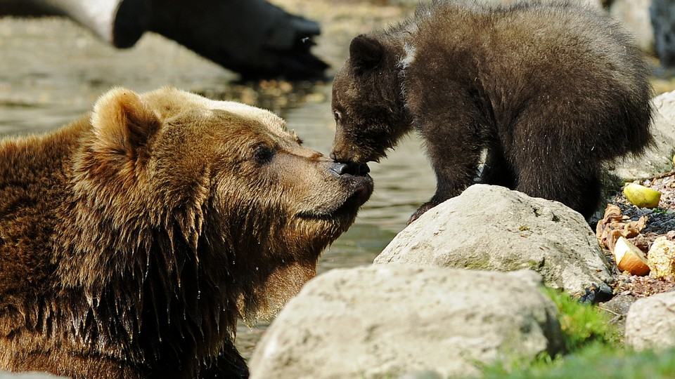 Two brown bears at a zoo in Hamburg, Germany