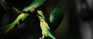 a photo of rose-ringed parakeets in London