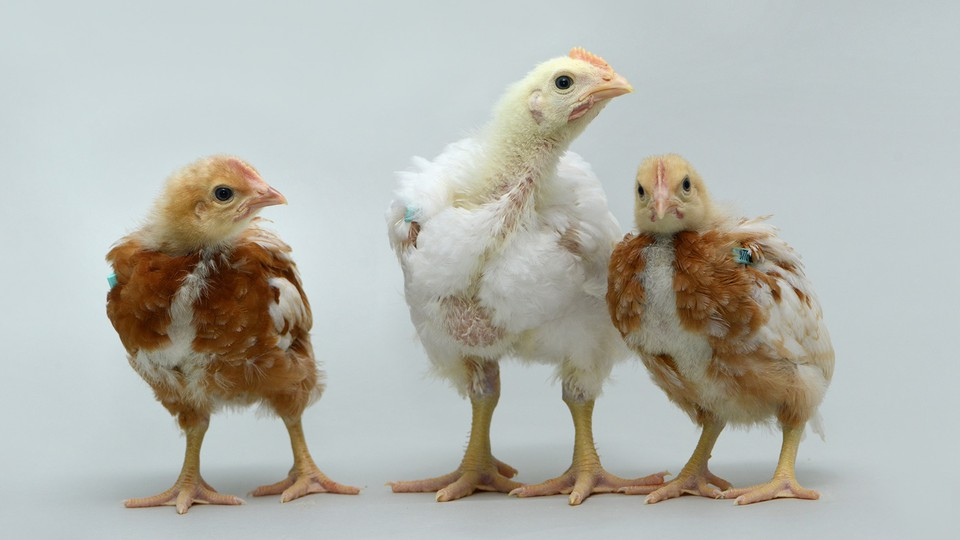 A pure-heritage-breed broiler chicken entirely reconstituted from frozen genetic material, surrounded by brown layer chicks.