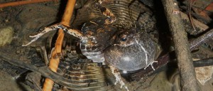 A photo of a túngara frog