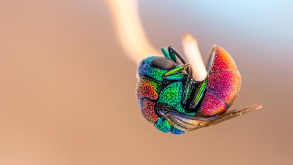A rainbow-colored cuckoo wasp