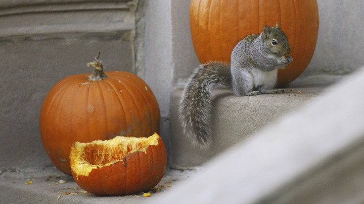 A squirrel eats a leftover pumpkin in Chicago, Illinois.