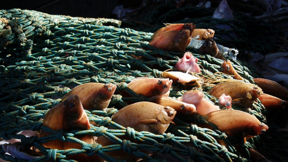 Little soles caught by a trawler in the North Sea.
