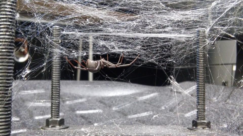 A black-widow spider on its web