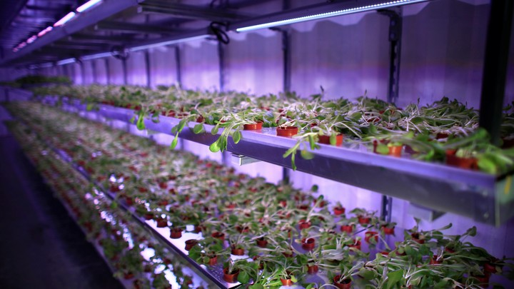 Plants grow under LED light in hydroponics facility