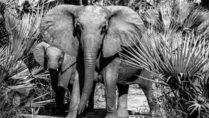 A tuskless female elephant and her calf