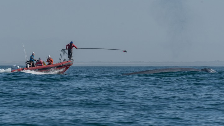 Researchers prepare to attach a heart monitor to a surfacing blue whale.