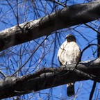 A hawk perches on a tree in the ramble area of Central Park in New York.