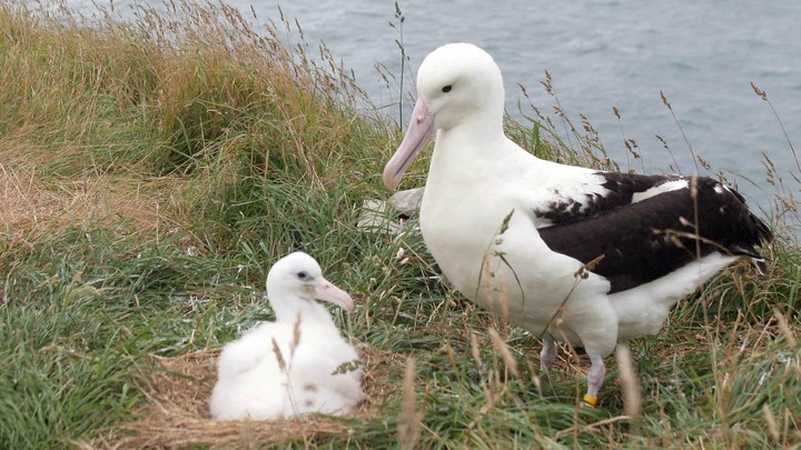 Nesting northern royal albatross on an island off New Zealand's coast
