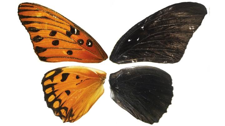 A gulf fritillary butterfly