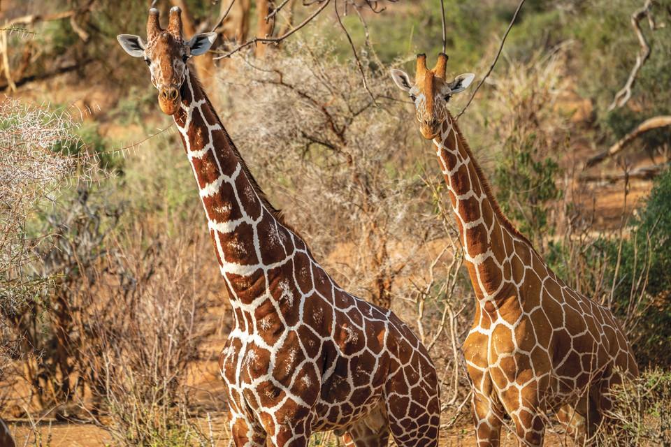 The Last Giraffes on Earth