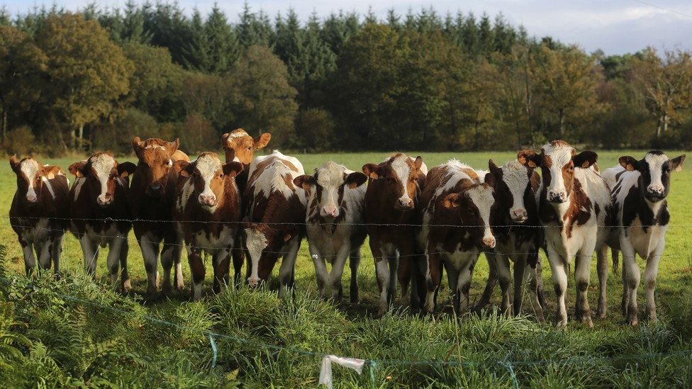 A group of cows looks forward.