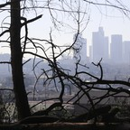 A burned-out tree in Los Angeles' Elysian Park