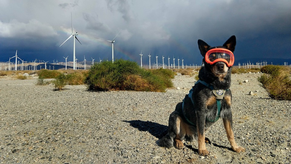 Dog in front of wind turbines