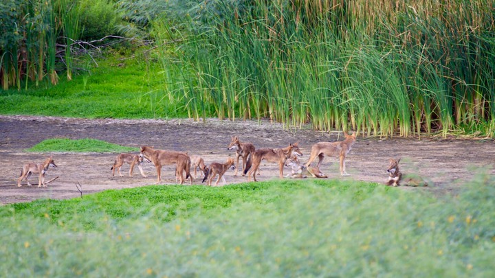 A group of canids that carry DNA from a nearly extinct wolf species