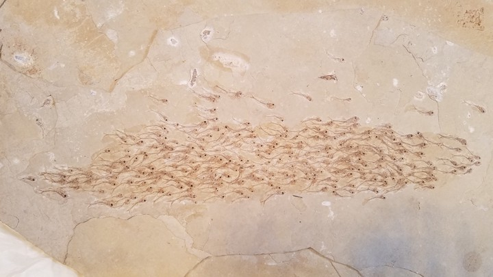 A fossilized school of fish
