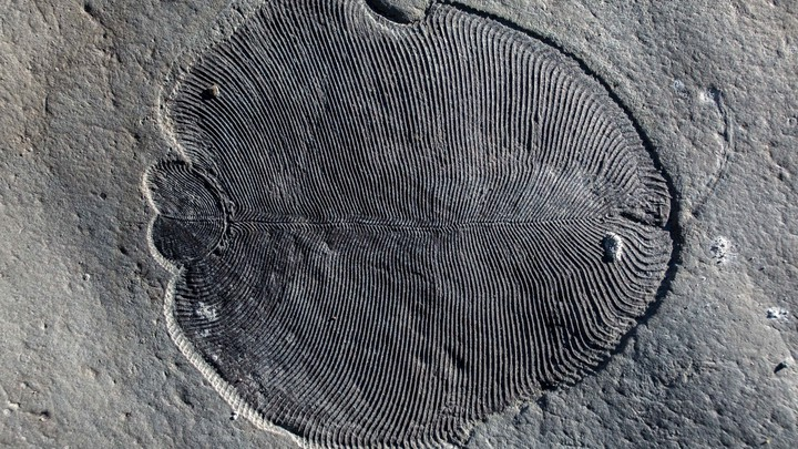 A Dickinsonia fossil