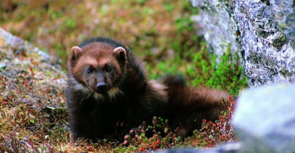 Great News For Wolverines And A Lashing For U S Fish And Wildlife The Atlantic