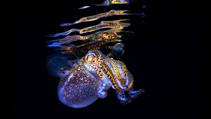 A glowing bobtail squid near the surface of the water