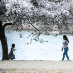 A photo of cherry trees in D.C.