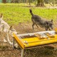 Two wolves interact with a mechanical device.