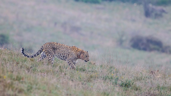 A male Persian leopard patrols its territory in Iran's Golestan National Park.