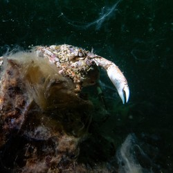 A crab entangled in sea snot
